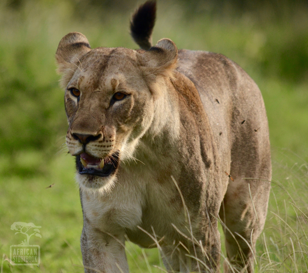 Lioness bugged by flies