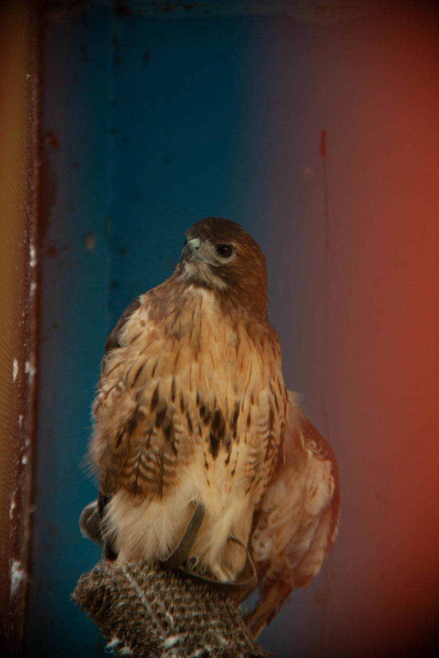 THODGE_Red Tailed Hawk_2019.jpg